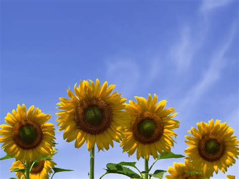 Four Sunflowers Picture, Beautiful Sunflowers Under the