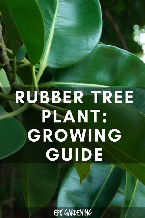 Rubber Plant (Ficus Elastica) Care And Growing Tips