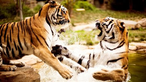 Tigers Playing Wallpapers | HD Wallpapers | ID #10354